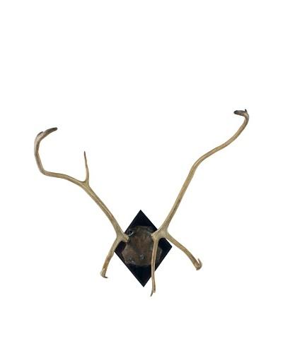 German Deer Antlers, Brown/Tan