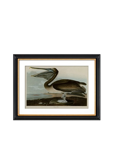 Brown Pelican II