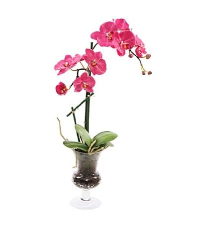 Phalaenopsis in Glass Vase, Fuchsia
