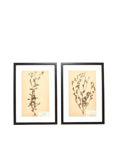 Herbarium Prints, C. 1930, Pair