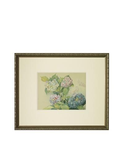 1903 Hydrangea Botanical ChromolithographAs You See