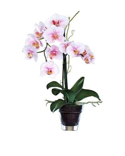 19 Phalaenopsis Plant in Glass Vase, White/Lavender