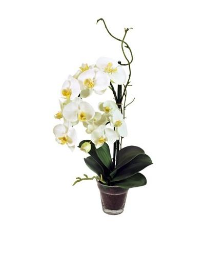 19 Phalaenopsis Plant in Glass Vase, White
