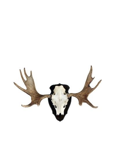 Moose Skull & Antlers, White/Tan/Black/Gold