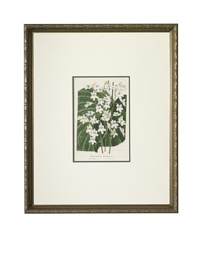 1851 Streptocarpus Lithograph