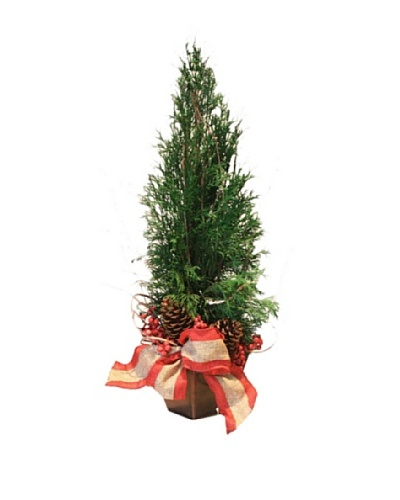 Holiday Arborvitae