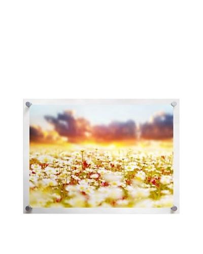 Field of Sunset Daisys