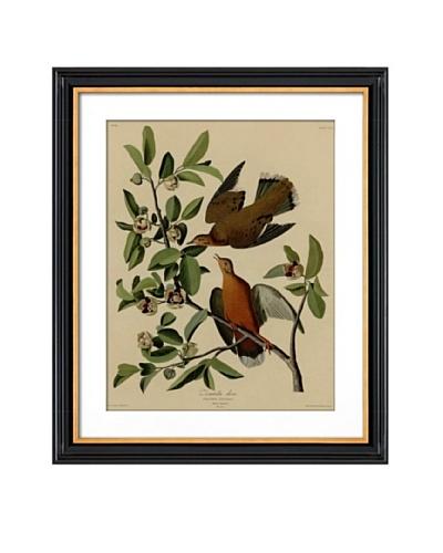 Audubon Zenaida Doves
