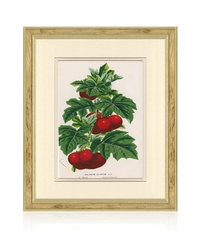 Antique Tomato Print, 1873