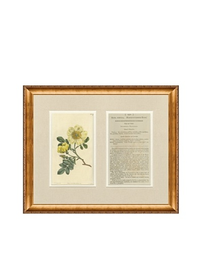1813 Antique Hand Colored Yellow Botanical with Description