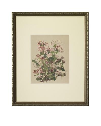 1903 Honeysuckle Botanical Chromolithograph