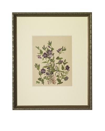 1903 Periwinkle Botanical Chromolithograph