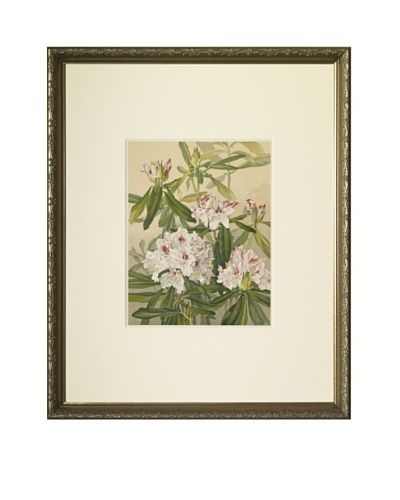 1903 Rhododendron Botanical ChromolithographAs You See