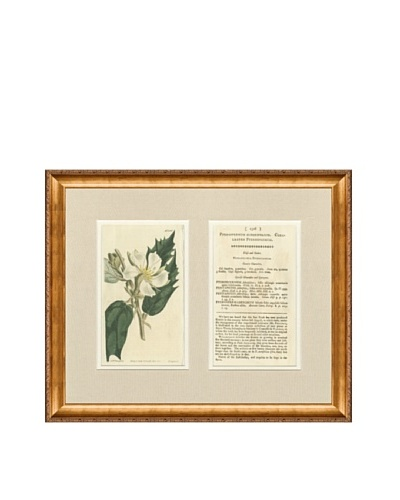 1813 Antique Hand Colored White Botanical with Description