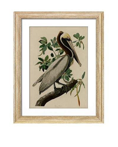Brown Pelican I