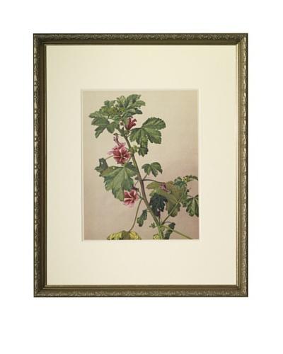 1903 Mauve/Mallow Botanical Chromolithograph