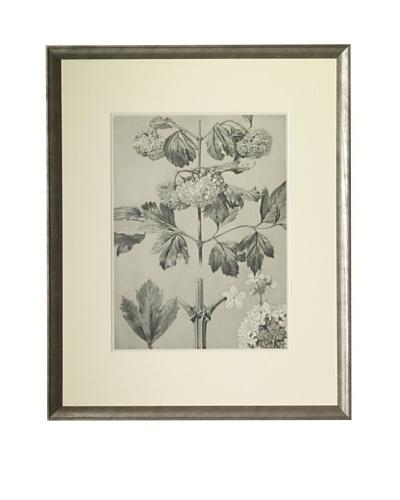 1903 Snowball Botanical Drawings