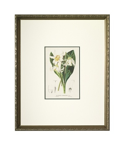 1851 Erythronium, lily Lithograph