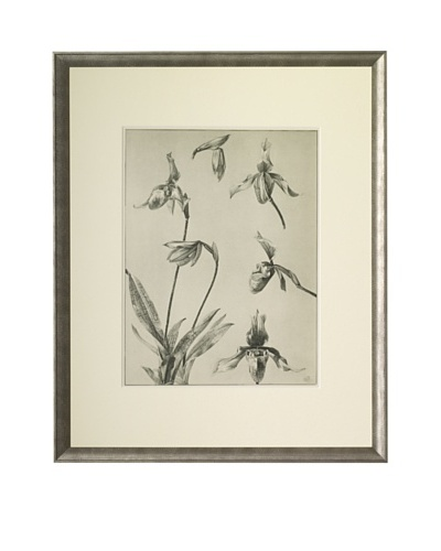 1903 Lady Slipper Orchid Botanical DrawingsAs You See