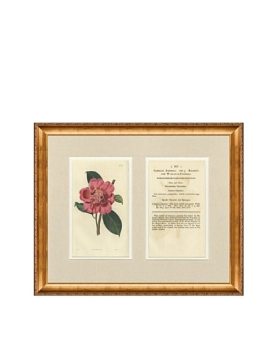 1825 Antique Hand Colored Pink Botanical with Description