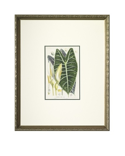 1851 Alocasia Lowi, Elephant Ear Lithograph