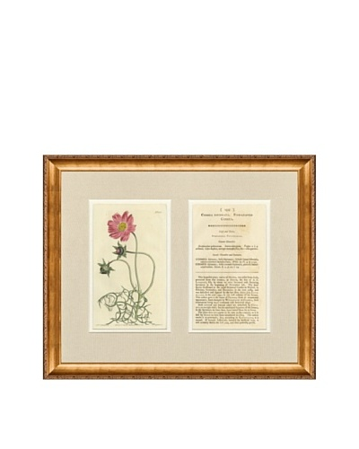 1813 Antique Hand Colored Pink Botanical with Description