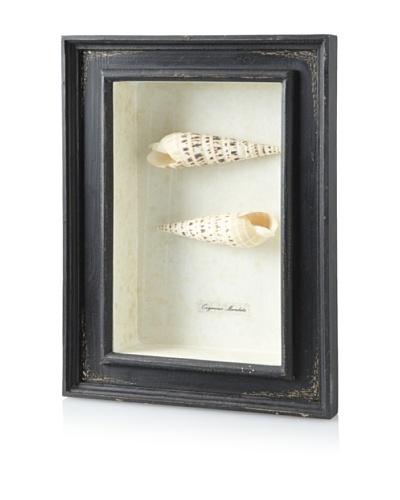 Diamond Reef Maculata Shell Shadow Box [Black]