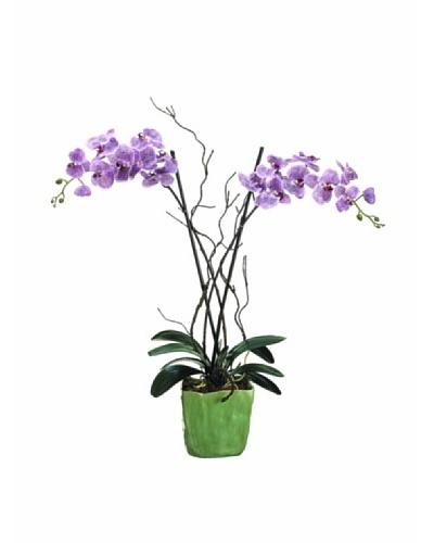 Phalaenopsis Plant, Violet/Two-tone