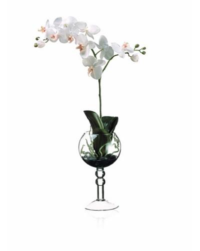 Phalaenopsis Orchid Plant, White