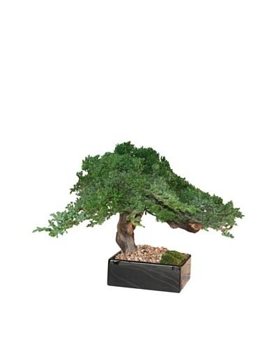 Forever Green Art Handmade Single Juniper Bonsai Tree