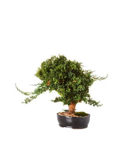 Forever Green Art Handmade Windswept Bonsai Tree