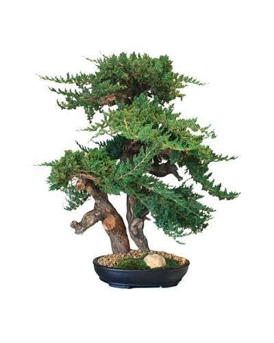 Forever Green Art Handmade Juniper Bonsai Tree