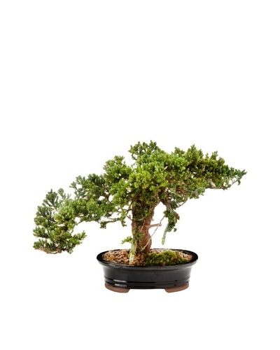Forever Green Art Handmade Single Monterey Bonsai Tree