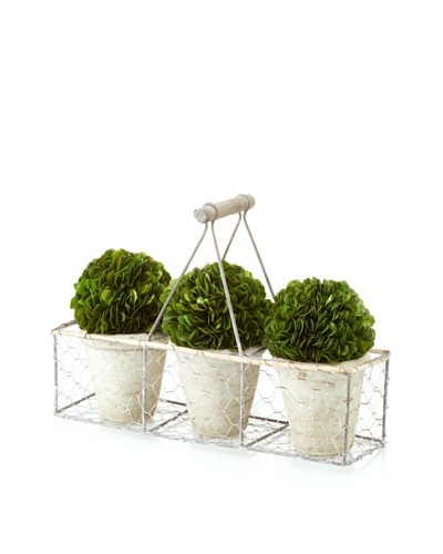 Galt 3 Potted Mini Boxwood Balls in Wire Carrier