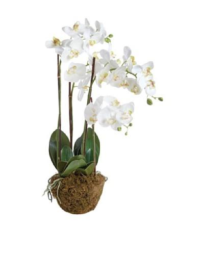 Napa Home and Garden 30 Phalaenopsis Drop-In Botanical