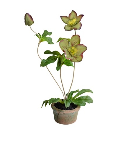 "New Growth Designs 13"" Hellebores in Terracotta Pot"