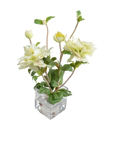 New Growth Designs Lenten Rose Plant
