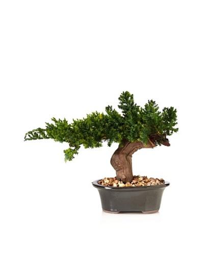 Forever Green Art Single Monterey Bonsai