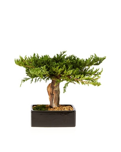 Forever Green Art Preserved Monterey Bonsai in Square Pot