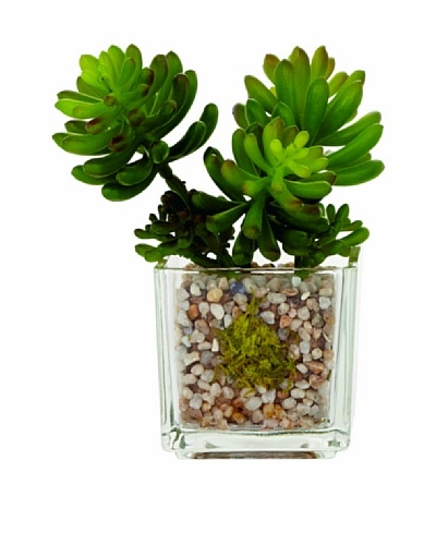 Torre & Tagus Glass Potted Echeveria, Jelly Bean