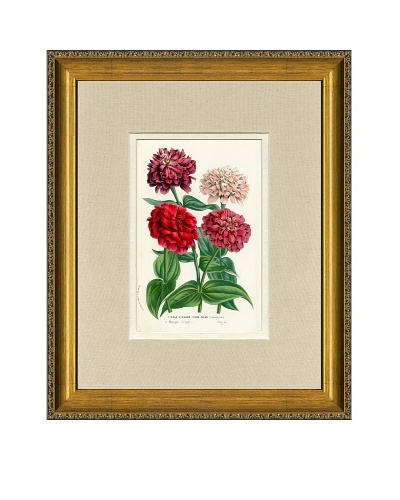 Vintage Print Gallery Antique Hand-Finished Zinnia Print, Circa 1850's