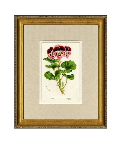 Vintage Print Gallery Antique Hand-Finished Pelargonium Print, Circa 1850's