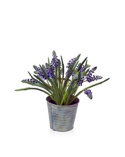 Winward Mini Muscari Potted, Purple