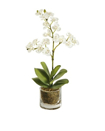 Winward Mini Phalaenopsis in Glass