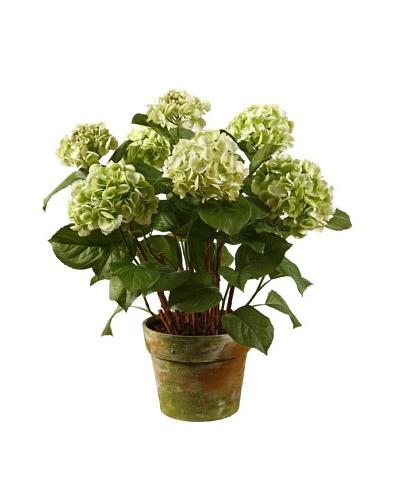 Winward Hydrangea in Pot, Green