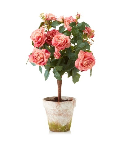 Winward Potted Garden Rose, Pink/White