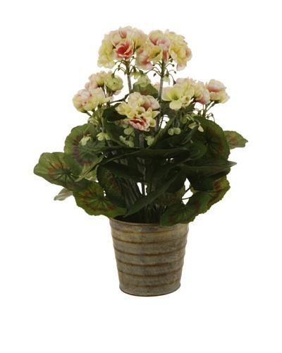Winward Geranium Plant
