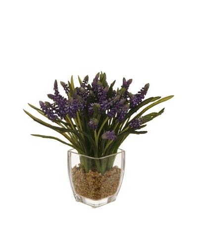 Winward Lavender Plant